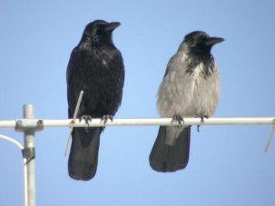 Cornacchia nera e grigia